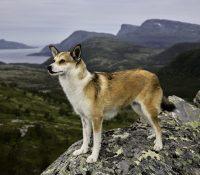 Jedno norvegijske plemja psa mať šisť palciv