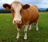 Підпора хователів коров і пацят