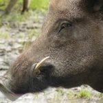 wild-pig-boar