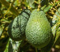 Avokadovnyk rodyť 100 avokad ročni