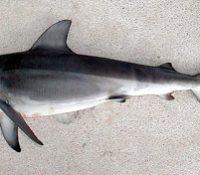 Jeden žralok žŷje i v solodkij voďi