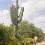 Saguaro je najvekšŷj kaktus