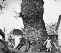 Najstaršŷj strom na Slovakiji je v Dubynňim kolo Bardejova