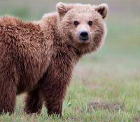 Mедвідь выстрашыв польовників недалеко Рокытoвa коло Гуменного