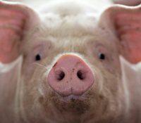 В Румінії є епідемія африцького мору свинь