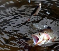 В Татраньскых потоках прибуде 60.000 кусів пстругів