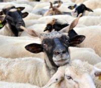 Накладна шыфа транспортуюча 14.600 овець ся вчера перевернула