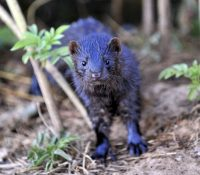Іспаньска норкова фарма зліквідує про коронавірус 93.000 звірят