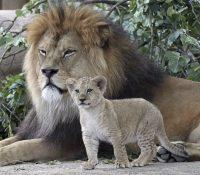 В пражскій зоо ся коронавірусом наказили два левы і ґоріла